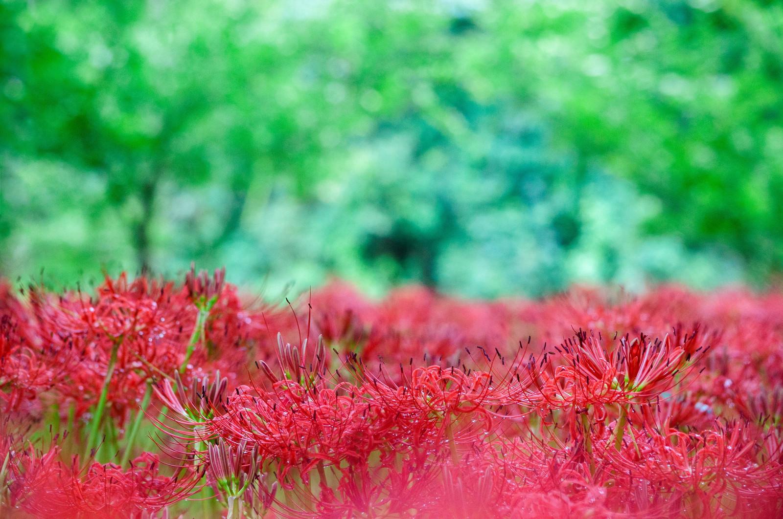 「森のなかのヒガンバナ」の写真