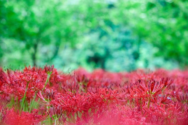 森のなかのヒガンバナの写真