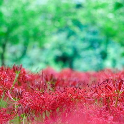 「森のなかのヒガンバナ」の写真素材