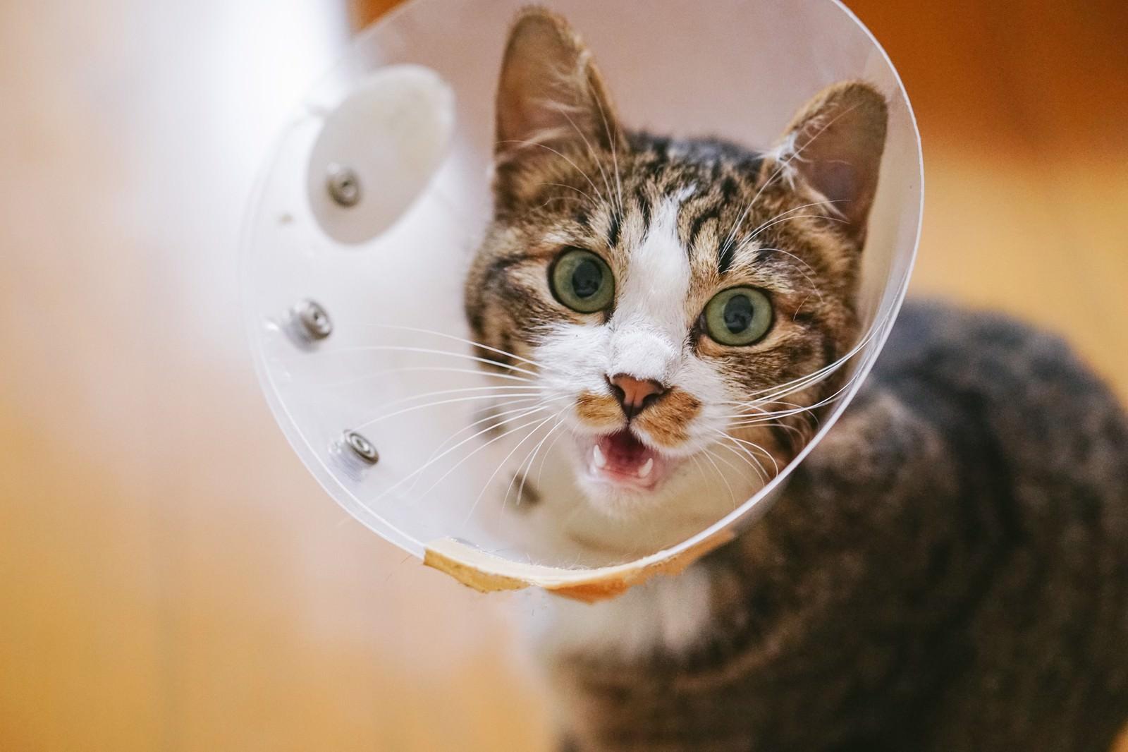 「エリザベスカラーが気に食わないキジ白猫」の写真