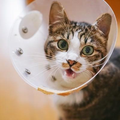 「エリザベスカラーが気に食わないキジ白猫」の写真素材