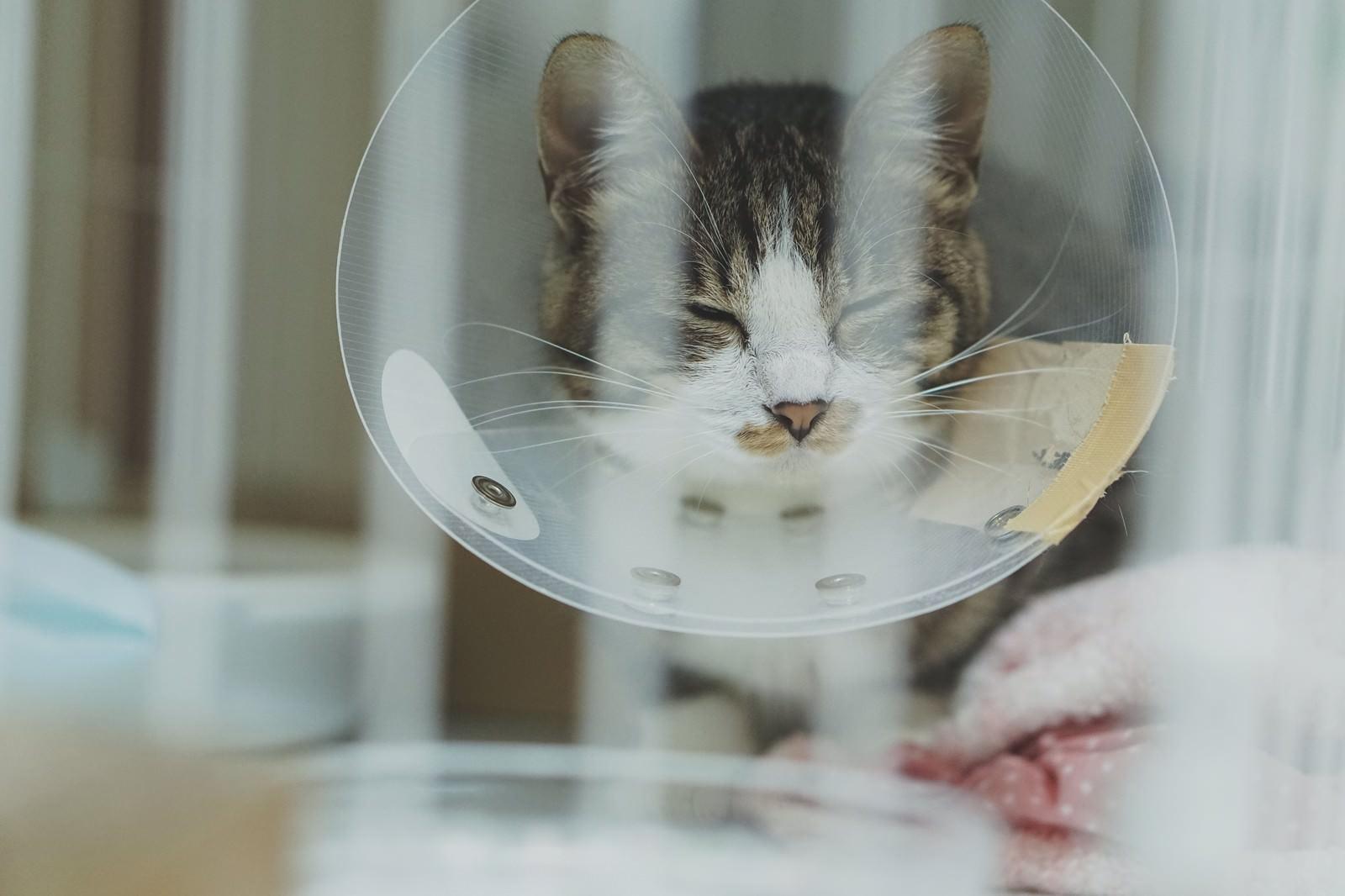 「退院後、ケージが気に食わないエリザベスカラーをつけたキジ白猫」の写真