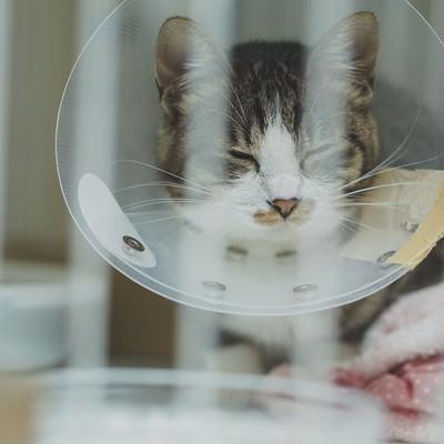 「退院後、ケージが気に食わないエリザベスカラーをつけたキジ白猫」の写真素材
