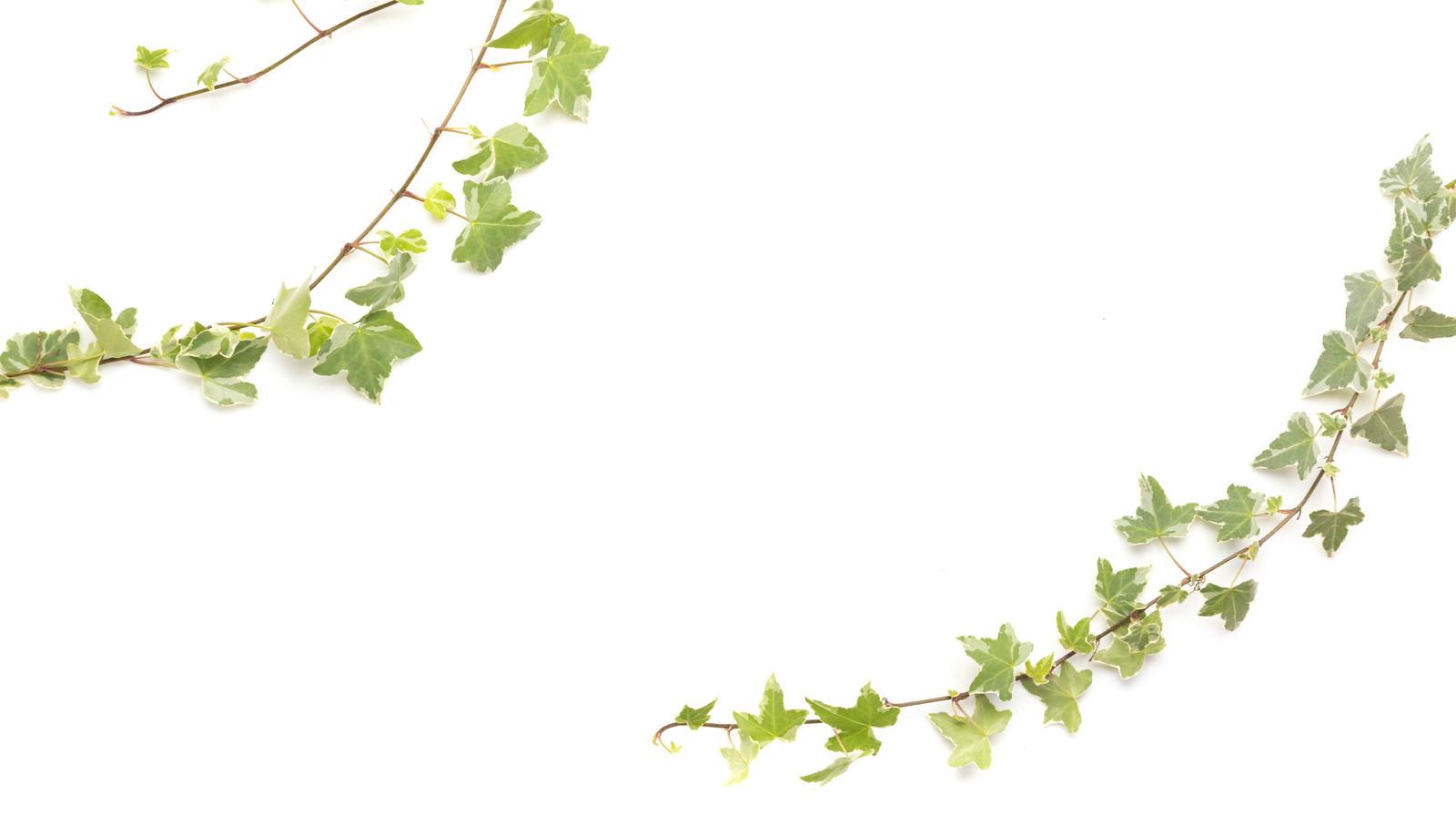 「ツタの観葉植物」の写真