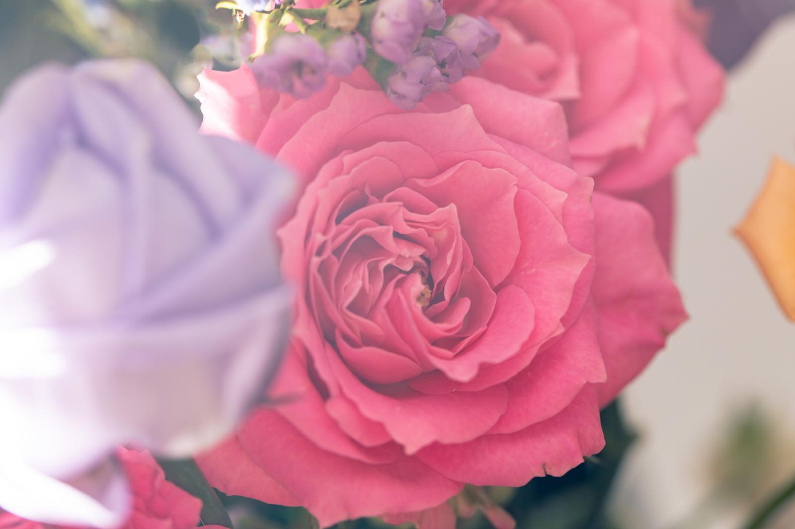 「ピンク色のバラの花」の写真