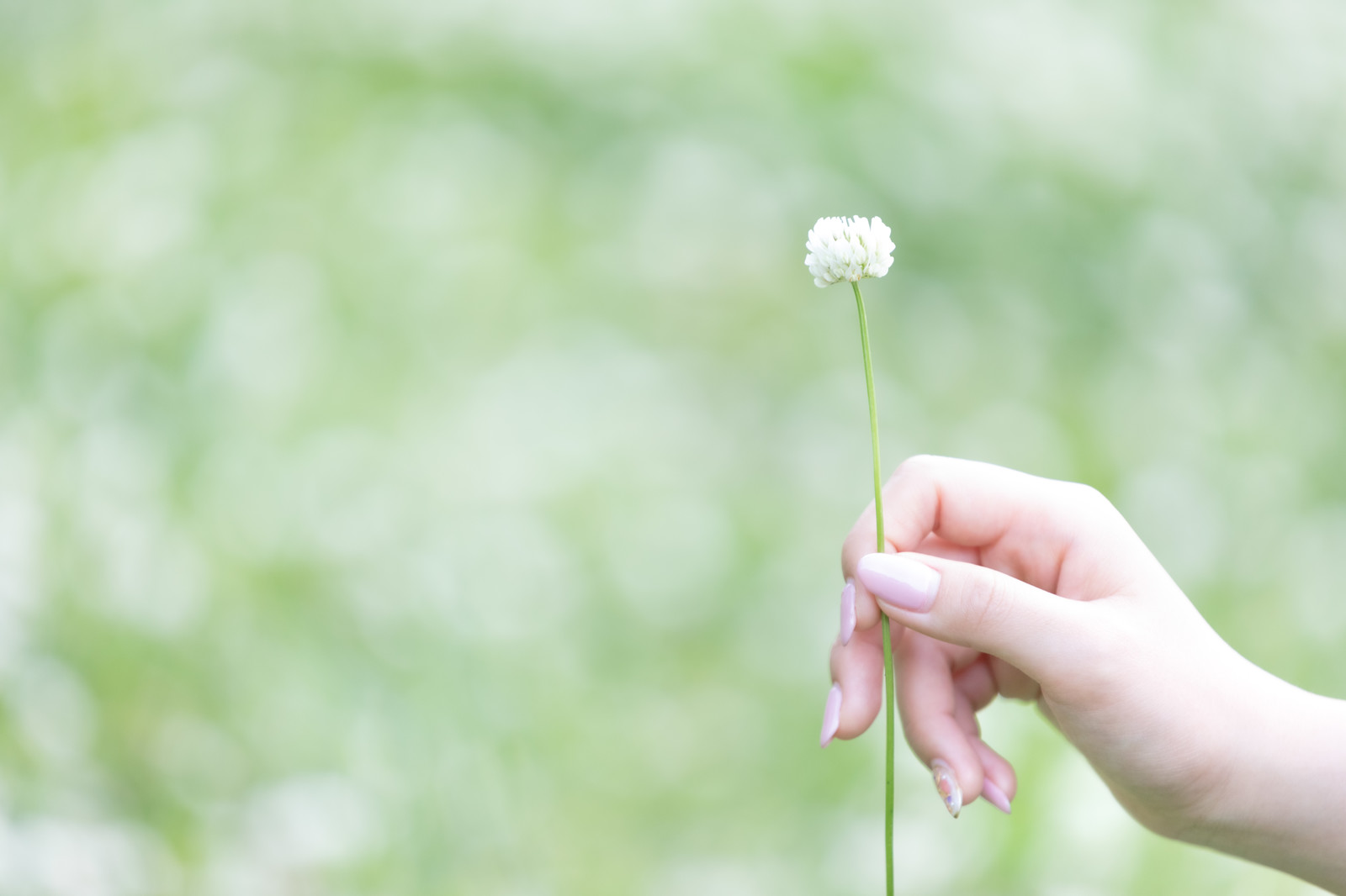 「シロツメクサを持つ女性の手」の写真