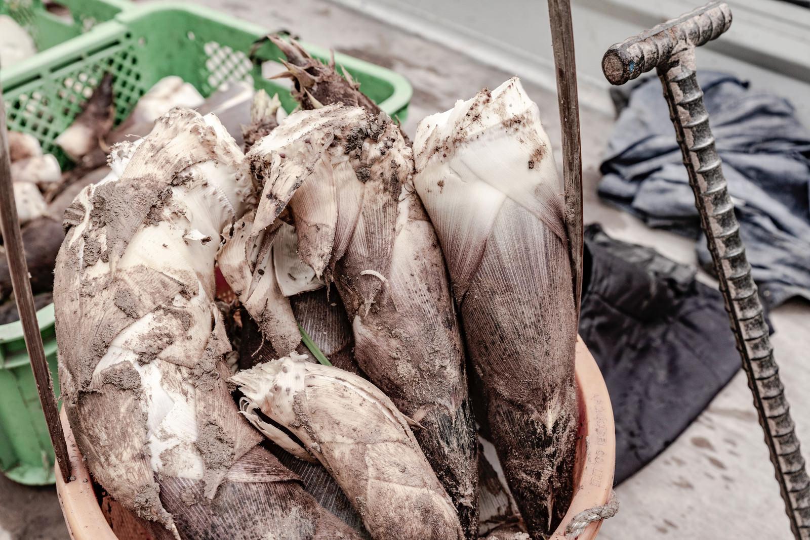 「収穫されたタケノコ」の写真