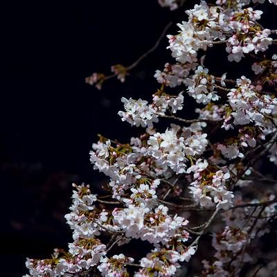 暗闇と夜桜の写真