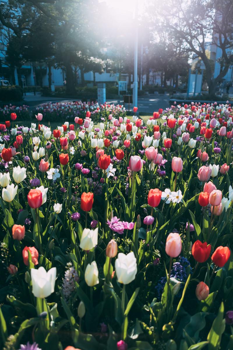 「チューリップの花たち」の写真