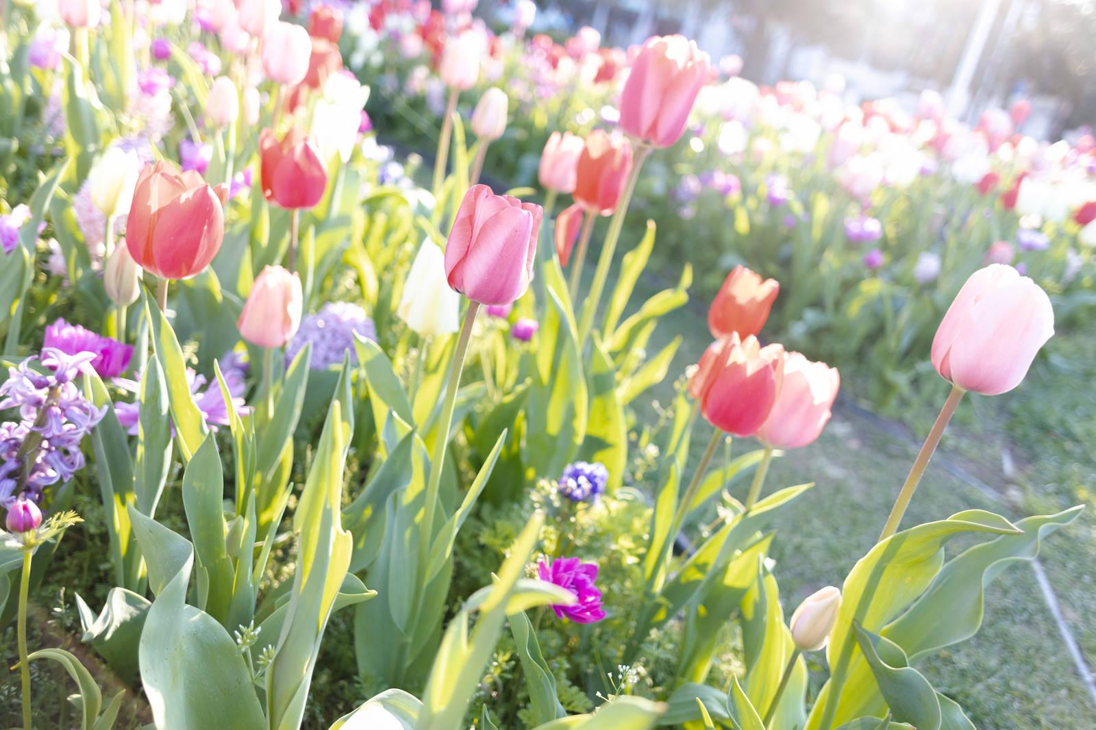 「咲いたチューリップの花」の写真