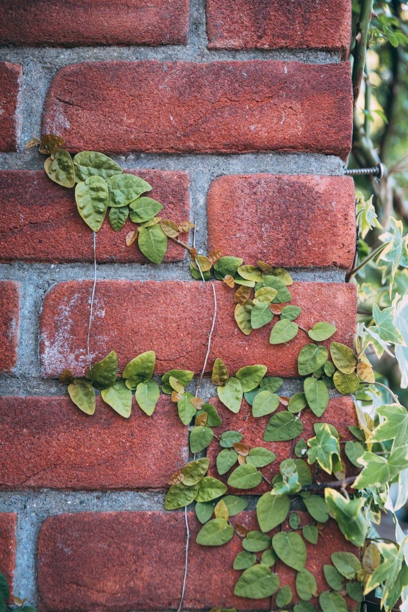 「蔦とレンガの壁」の写真