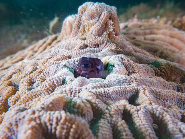 珊瑚の隙間に隠れるギンポにょきの写真