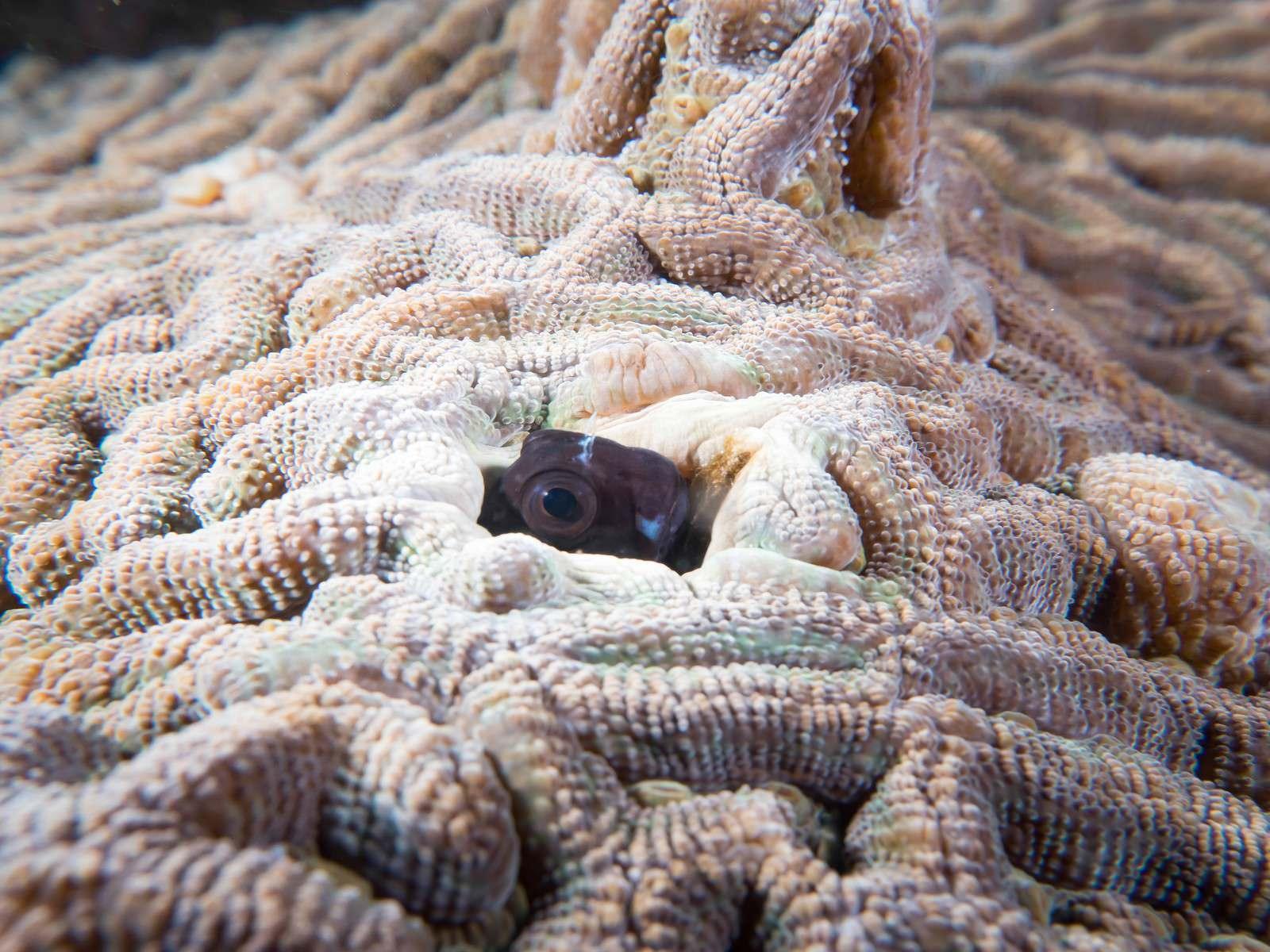 「珊瑚に隙間から顔を出すギンポひょこ」の写真