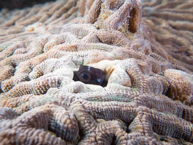 珊瑚に隙間から顔を出すギンポひょこの写真