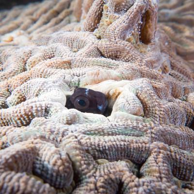 「珊瑚に隙間から顔を出すギンポひょこ」の写真素材
