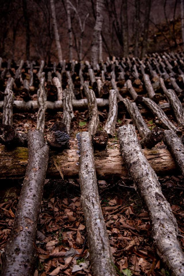 椎茸栽培の駒打ちが終わった大量の原木の写真