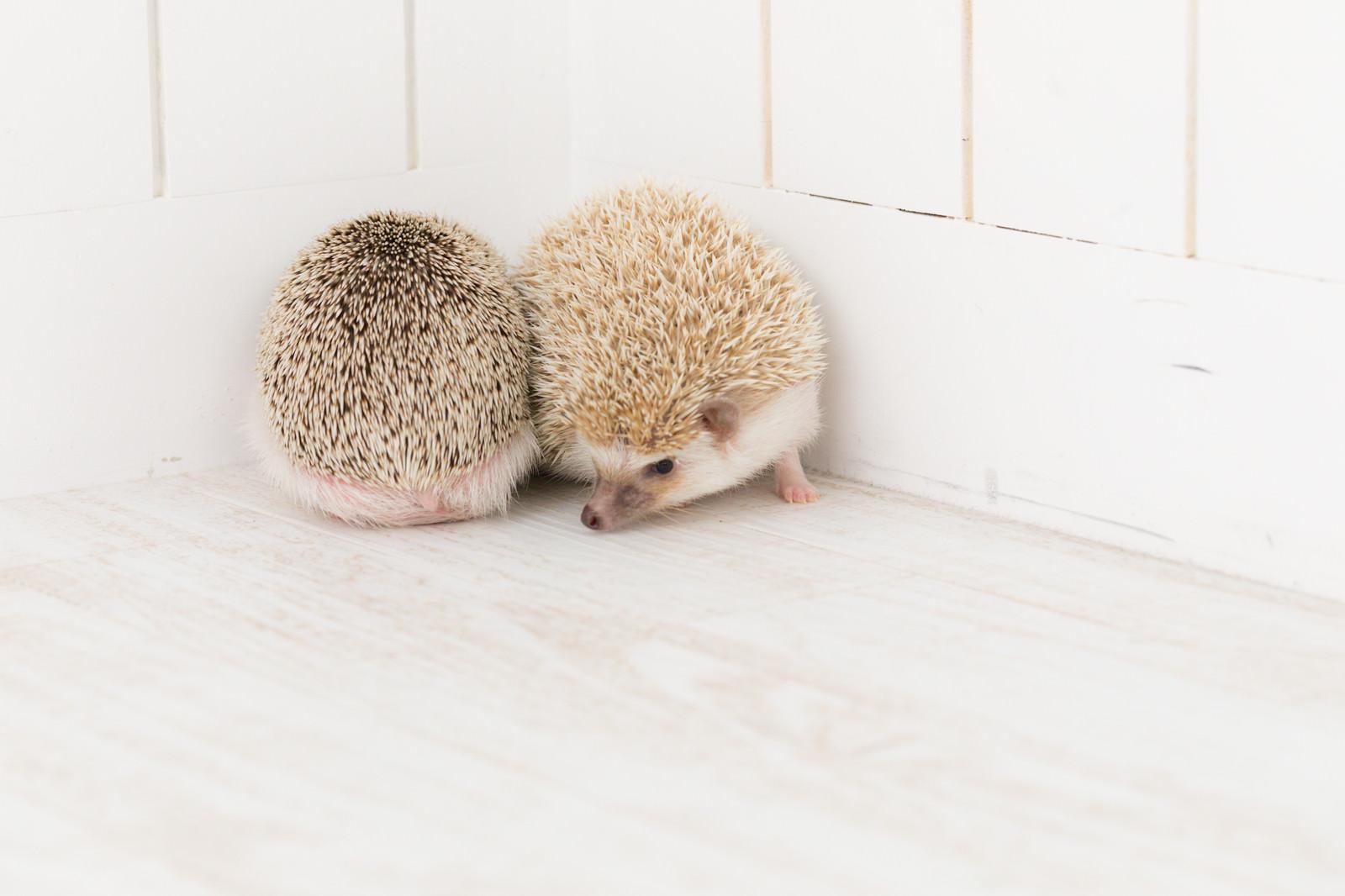 「壁際で寄り添う二匹のハリネズミ」の写真