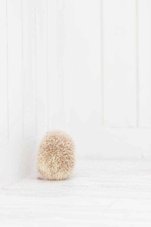 寂しいハリネズミの後ろ姿の写真