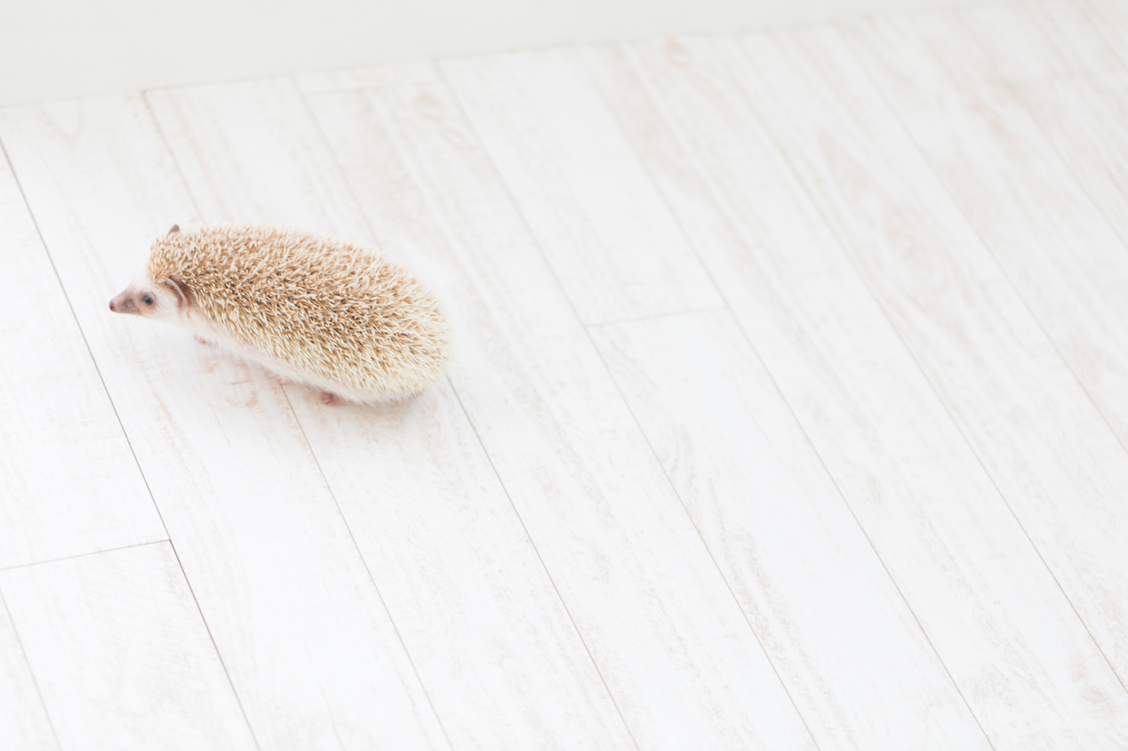 「てくてく歩くハリネズミ」の写真