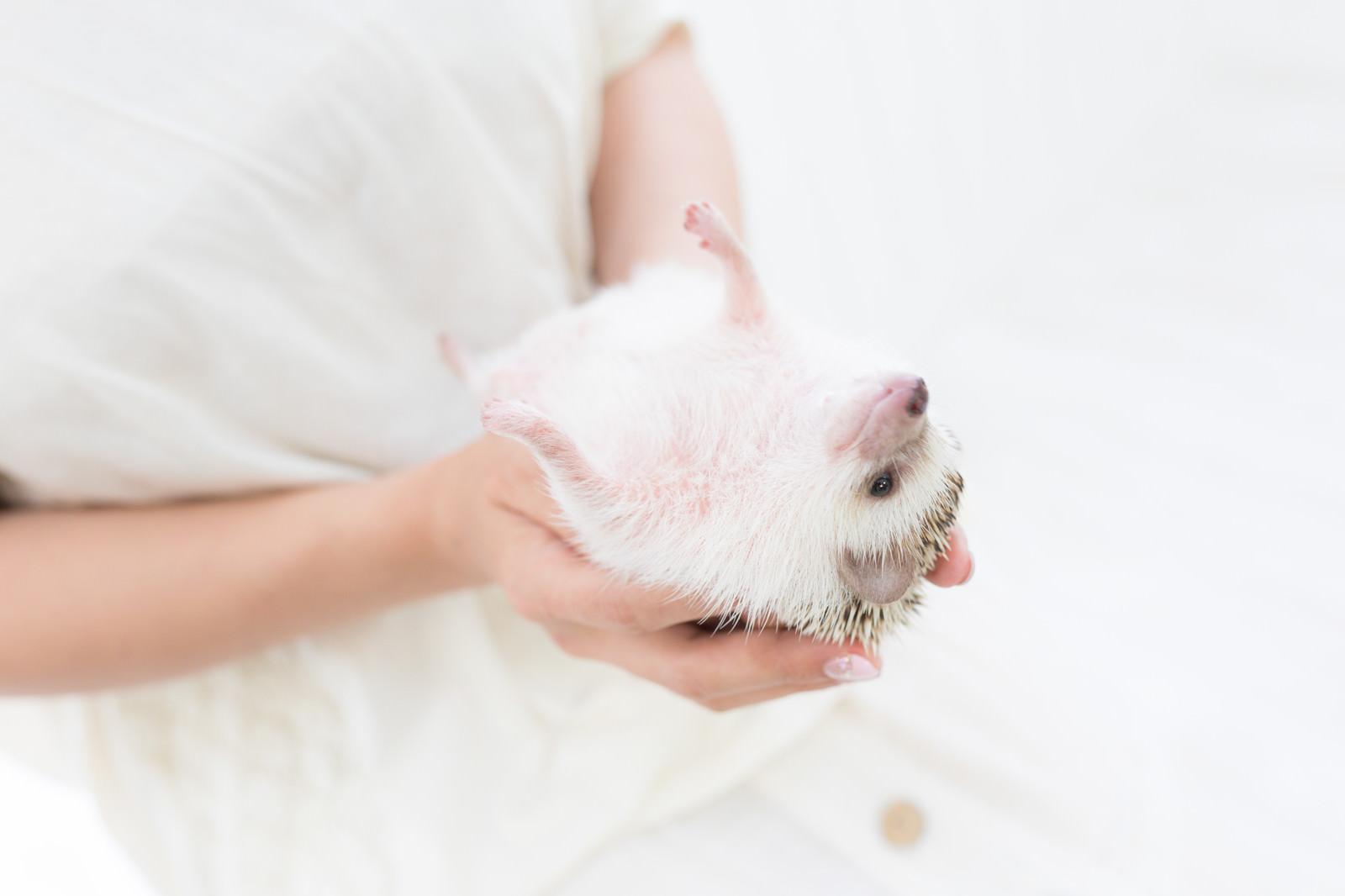 「手のひらでなすがままのハリネズミ」の写真