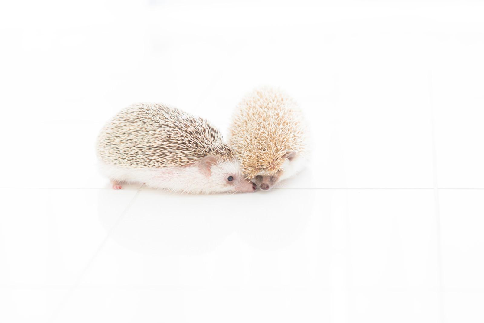 「ねぇ、チュウしてよーと求愛するハリネズミ」の写真