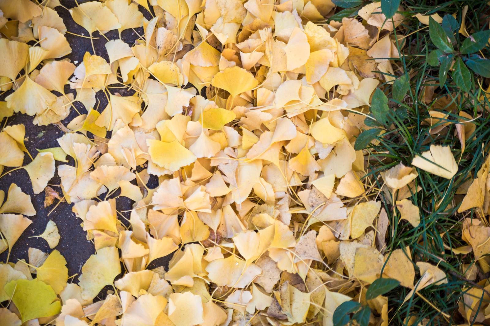 「イチョウの落ち葉」の写真