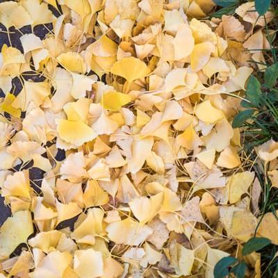 イチョウの落ち葉の写真