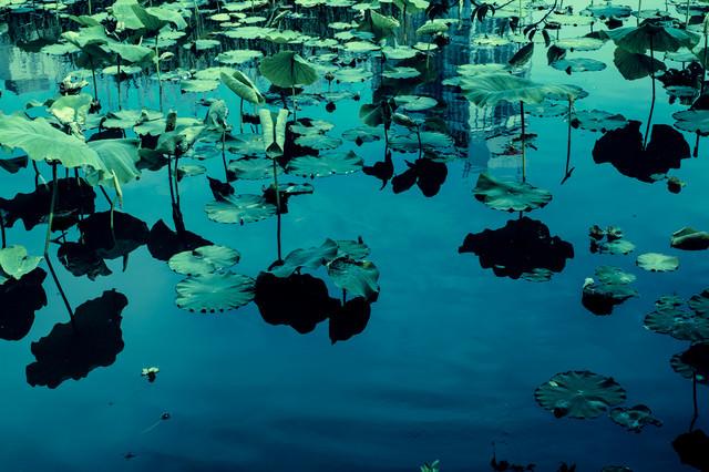 蓮の池の写真