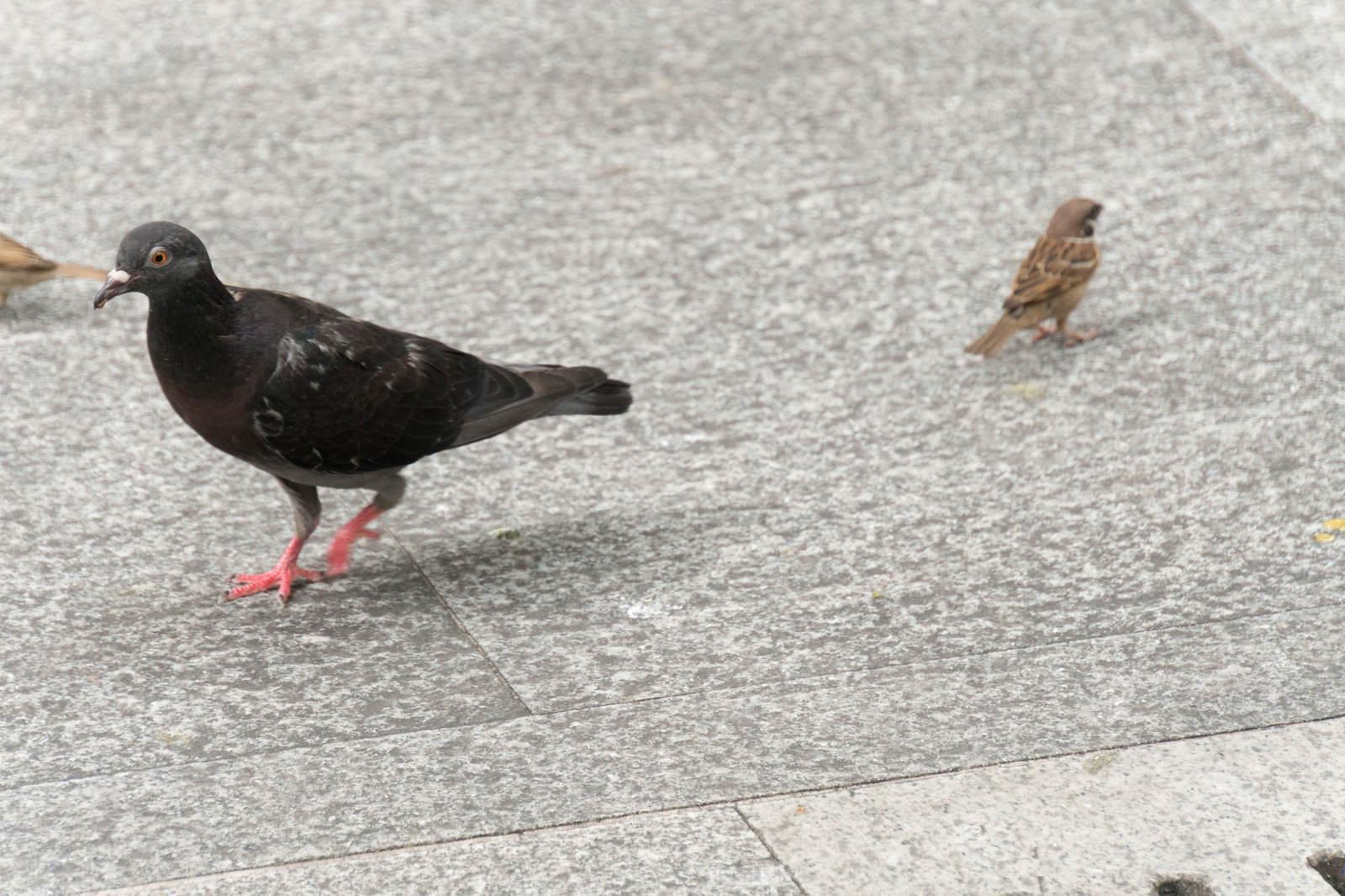 「鳩と雀」の写真