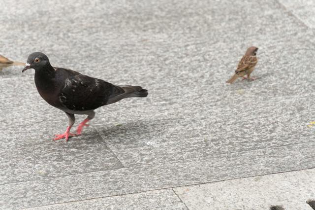 鳩と雀の写真