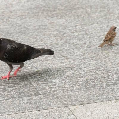 「鳩と雀」の写真素材