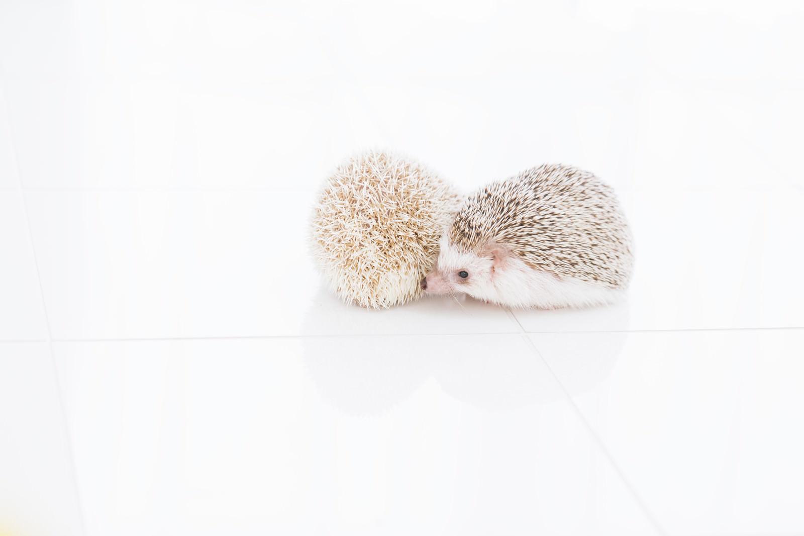 「寄り添う二匹のハリネズミ寄り添う二匹のハリネズミ」のフリー写真素材を拡大