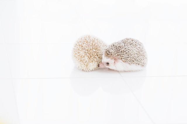 寄り添う二匹のハリネズミの写真
