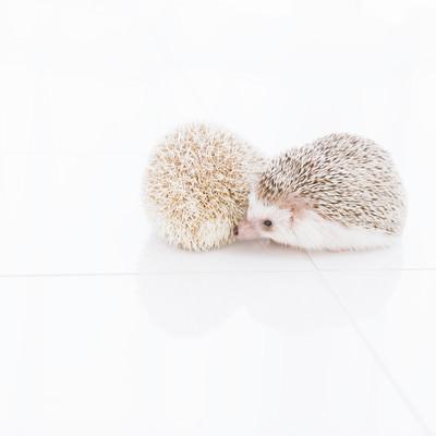 「寄り添う二匹のハリネズミ」の写真素材