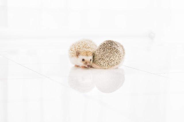 寄り添うハリネズミ-ボクの針は痛くないの写真