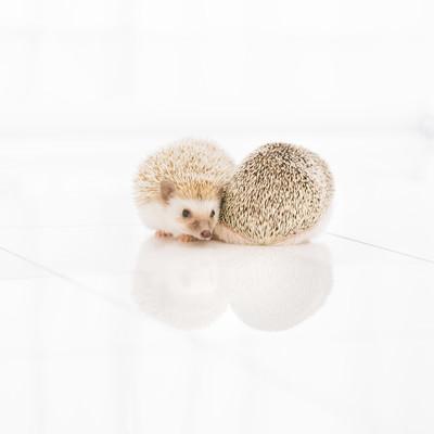 「寄り添うハリネズミ-ボクの針は痛くない」の写真素材