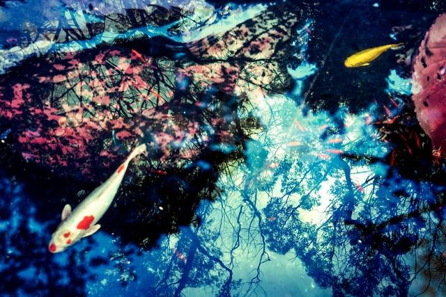 池の鯉(フォトモンタージュ)の写真