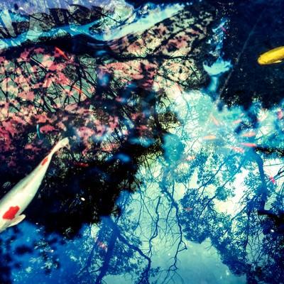 「池の鯉(フォトモンタージュ)」の写真素材