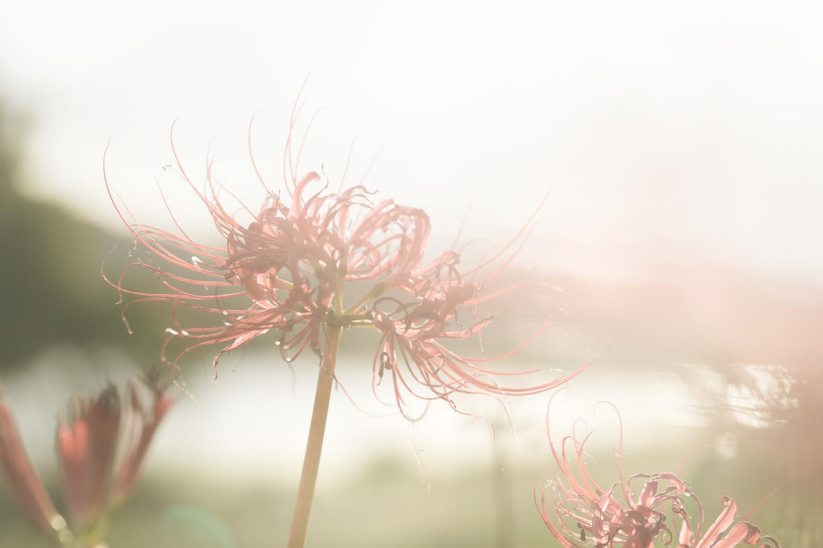 「散り間際の彼岸花」の写真