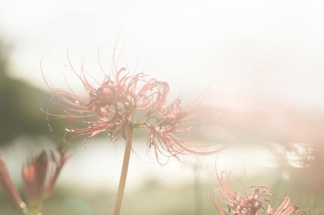 散り間際の彼岸花の写真
