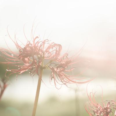 「散り間際の彼岸花」の写真素材