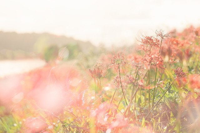 川沿いに咲く曼珠沙華の写真