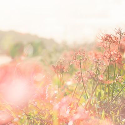 「川沿いに咲く曼珠沙華」の写真素材