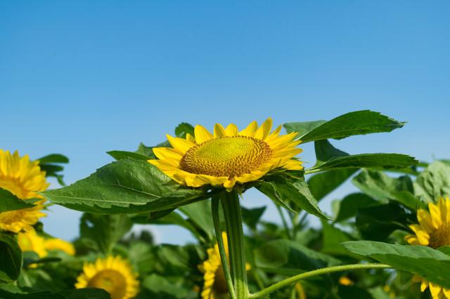 空を向いて咲く向日葵の写真