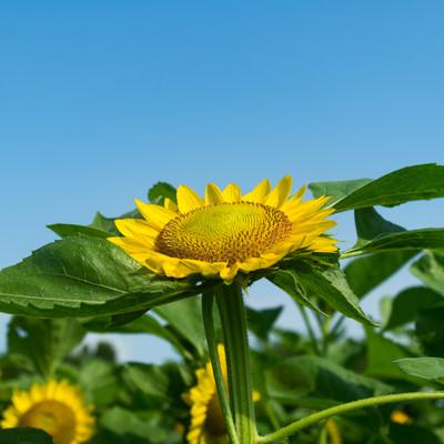 「空を向いて咲く向日葵」の写真素材