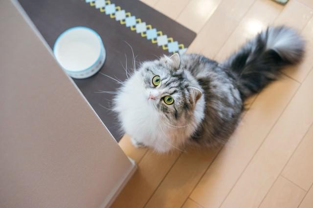 ご飯を催促する猫(スコティッシュフォールド)の写真