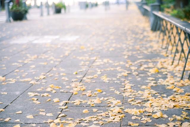 歩道と銀杏の落ち葉の写真