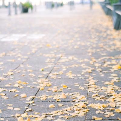 「歩道と銀杏の落ち葉」の写真素材