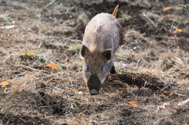 土を掘り返して鼻に泥がついた猪の写真