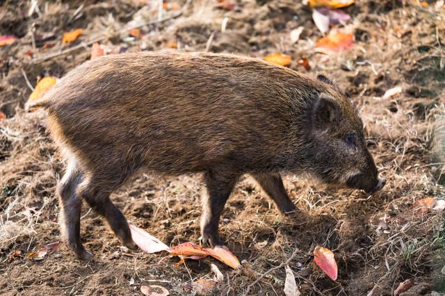 野生の猪(いのしし)の写真